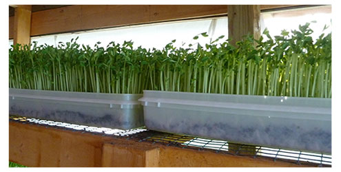 Trays Soil Grown Pea Greens/Shoots